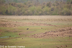 Wild Boar (Robbert met dubbel B) Tags: park wild india photography wildlife indian safari national april np 29 boar 29th zwijn 2016 tigerreserve wildlifephotography tadoba andhari wildfotografie