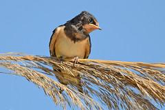 New generation - Nova gerao (Yako36) Tags: bird portugal nature wildlife natureza birdwatching peniche ferrel tc14e nikonafs300f4 nikond7000