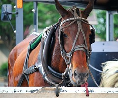 IMG_3796 (joyannmadd) Tags: amish horses intercourse pennsylvania kitchenkettlevillage farm animals lancaster coumty pa farms nature outdoors