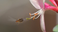 Marmalade hoverfly (Episyrphus balteatus) hovering near honeysuckle, Sandy, Bedfordshire (orangeaurochs) Tags: sandy bedfordshire hoverflies episyrphusbalteatus honeysuckly