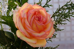Rosa / Rose / flrsrosas_0021b (Joo Batista**) Tags: flower nature rose natureza flor rosa