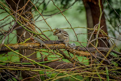 Squirrel Chasing Chameleon (Shahid_Hussain) Tags: bluesky chameleon chase nature naughty shadow silhouette squirrel summer together villege wildlife
