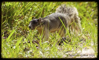 Sherman's Fox Squirrel (Sciurus niger shermani)...Strolling right along...