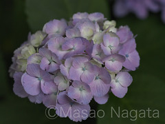 Walking (axlemasa) Tags: life park pink flowers blue light summer white plant flower color macro green fall nature floral beautiful beauty leaves garden outdoors tokyo petals flora colorful graphic natural ueno blossom outdoor country picture bunch hydrangea elegant h5d