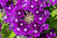 Natur pur... (Kurt Hollstein) Tags: 5 blumenoutdoorgartenblhencanon70d18135mmf3