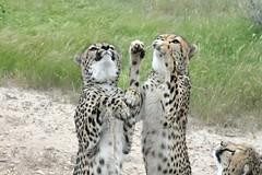 Sometimes We Get Lucky (zenseas : )) Tags: africa camping wild vacation holiday dinner jump jumping feeding eating luck lucky cheetah captive namibia cheetahs kamanjab acinonyxjubatus cheetahfarm nonreleasable