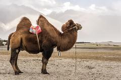 Bactrian Camel, Hunder (mindweld) Tags: camel himalayas ladakh hunder bactriancamel hunderhimalayasladakh