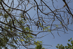 Puerto Morelos (will668) Tags: trees sky tree leaves mexico seeds cancun seedpods puertomorelos