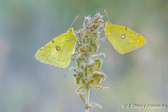 Doble (Dani (Atrus)) Tags: coliasdeberger coliasalfacariensisribbe mariposas butterflies jdanielfernndez elrincndelosprotegidos espaa spain naturaleza