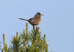 Dartford Warbler---Sylvia undata (creaturesnapper) Tags: uk birds europe devon warblers sylviaundata dartfordwarbler aylesbearecommon