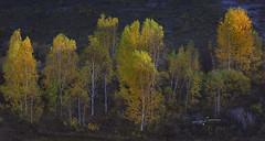 Inner Mongolia (Albert Photo) Tags: china autumn tree green landscape woods scenery outdoor serene prairie grassland innermongolia
