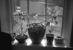 Windowsill Still Life 1 (matthew.vortex) Tags: stilllife plants dof delta100 windowsill ilford argus c3 sandmar35mm