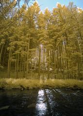 Biberweg (Ir,590nm) (norbertfulep) Tags: summer forest river outdoors sunny infrared goldie shady obersterreich sunray supercolor infraredphotography biberweg 590nm
