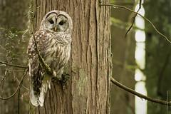 1T0A2778 - Barred Owl (Crisp Image Photography) Tags: bird nature wildlife coquitlam birdsofprey barredowl strix varia birdphotography