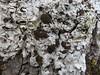 Lobaria amplissima on ash tree (aburgh) Tags: lobaria cephalodia scotland isleofskye corticolous foliose blsfieldmeeting