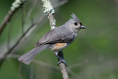 Tufted Titmouse (Jesse_in_CT) Tags: tuftedtitmouse nikon200500mm