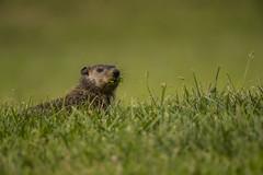 _S4I1394 (Samuel Maglione) Tags: marmotamonax groundhog mercercountypark woodchuck