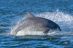 Wild Dolphin in the Moray Firth (another walt) Tags: point scotland dolphin moray firth chanory