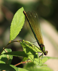 Demoiselle (ekaterina alexander) Tags: demoiselle dragonfly splendens calopteryx banded pale green female insect ekaterina england alexander sussex wild nature photography pictures summer