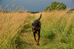 MFL_0007.jpg (Marco Frster) Tags: laage hunde natur sina tiere dobermann