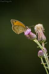 Wiesenvögelchen (FusselFotografie) Tags: flower berlin beautiful butterfly germany insect deutschland spring colorfull blume insekt auf farbig bunt schmetterling frühling wunderschön wiesenvögelchen heufalter