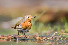 Robin (jacobsfrank) Tags: orange bird nature robin insect nikon flickr dof belgium forrest bokeh natuur gras bos vogel oranje roodborstje kalmthout frankjacobs nikond500 jacobsfrank