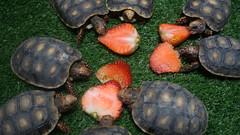 Tortoises eating strawberries (Mo Khalifa) Tags: torotoise tortoises strawberry fruit fruits arauca colombia macro macroshot animals animal pet erdbeeren fresa fresas frucht fruta schildkroete morrocoy mascota haustier haustiere mascotas