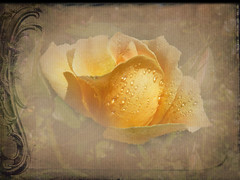 When I waked, I cried to dream again (Nick Kenrick.) Tags: rose orange petals raindrops magicunicornverybest