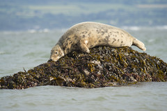 Grey Seal (lord wardlaw) Tags: grey seal anglesey north wales wildlife mammal sony sigma a77ii