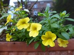 Window box (seikinsou) Tags: brussels belgium bruxelles belgique summer window flowerpot yellow flower reflection
