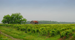 Where The Fog Lifts (M.Christine Duncan) Tags: vineland nature ontario canada rural landscapes vineyards fog
