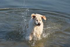 DSC_0163 (tweetyfilm73) Tags: goldenretriever water lake fun wet mydog happy splatters