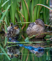 Ducklings (Wayne Cappleman (Haywain Photography)) Tags: wayne cappleman haywain photography farnborough hampshire king george fifth v playing fields park duck pond duckling