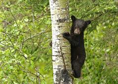 Black Bear Cub...#7 (Guy Lichter Photography - Thank you for 2.9M views) Tags: canon 5d3 canada manitoba rmnp wildlife animal animals mammal mammals bear bears blackbear cub
