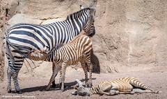Zebras (Ignacio Ferre) Tags: bioparc valencia cebra zebra mammal mamfero nikon equidae equus