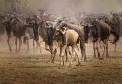 Mammal category (karenmelody) Tags: africa animal animals behavior commonwildebeest connochaetestaurinus familybovidae kenya mammal mammals masamarai vertebrate vertebrates crossingmarariver
