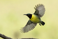 Purple-rumped Sunbird, Male......................in flight (devdosspremkumar) Tags: sunbird