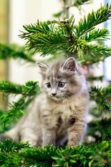Young Muffin (socreative) Tags: kitten kitty lover pet pets fluffy fluff fur meow kitteh cute cuteness dof cutie cat grey love beauty