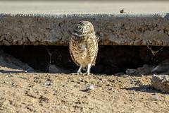 Burrowing Owl (Laveen Photography (aka cyclist451)) Tags: az arizona laveenphotography trailsidepoint bird burrowingowl cyclist451yahoocom owl photograph photographer sidewalk phoenix unitedstates us canon 5dmarkiv