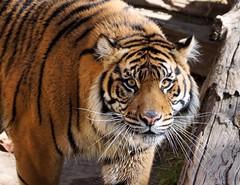 I See You (greekgal.esm) Tags: sumatrantiger tiger bigcat cat feline animal mammal carnivore indah losangeleszoo lazoo losangeles griffithpark california sony a77m2 a77mii sal70300g