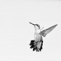 In Flight (dshoning) Tags: hummingbird flight hovering highkey