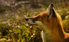 Fox (ForEster99) Tags: nature fox portrait warm light wild detail
