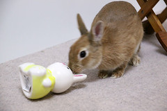 Rabbit and Rabbit ICHIGO san (mensore) Tags: rabbit bunny netherlanddwarf brown cute pet family ichigo