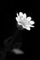 En Blanco y/o negro (Gayoausius) Tags: blancoynegro bw bokeh blackandwhite 7dwf flor floral flower flora fondonegro white contraste