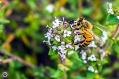 En el tomillo (Andres710) Tags: abeja bee primavera spring tomillo thyme huerta flor flores vuelo polen polinizar polinizando nikon d5200 1855 macro micro