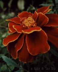 #photography #valokuvaus #flower #flowerpetals #exposure #contrast #saturation #temperature #cameralens (Aatike Al Take) Tags: temperature contrast valokuvaus flower flowerpetals cameralens saturation photography exposure