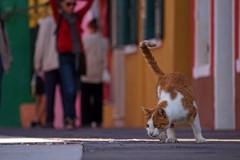 (wani_no_ko) Tags: burano venice venezia italy cat