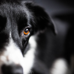 Eye of the Mac (Bas Bloemsaat) Tags: dog sheepdog bordercollie