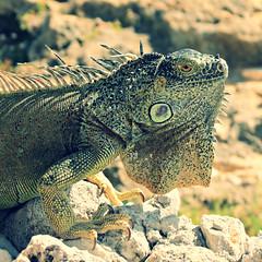 IMG_2624_fix (goatling) Tags: island seaside reptile lizard iguana tropical tropic caribbean cayman carib caymanislands tropics grandcayman caribe westbay britishwestindies gcm201412 201412gcm