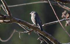 Junco on the branches (RickykcWong) Tags: toronto ontario bird nature canon eos wildlife tamron juno birdwatcher 70d rickykcwong